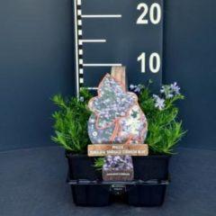 "Plantenwinkel.nl Kruipphlox (phlox subulata ""Emerald Cushion Blue"") bodembedekker - 6-pack - 1 stuks"