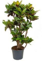 Plantenwinkel.nl Croton petra XXL kamerplant