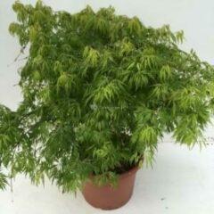 "Plantenwinkel.nl Japanse esdoorn (Acer palmatum ""Dissectum"") heester - 60-70 cm - 1 stuks"