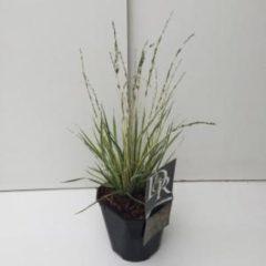 """Plantenwinkel.nl Bont pijpenstrootje (Molinia caerulea """"Variegata"""") siergras - 6 stuks"""