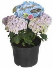 "Plantenwinkel.nl Hydrangea Macrophylla ""Double Flowers Blue""® boerenhortensia - 25-30 cm - 1 stuks"