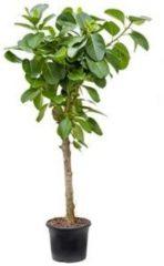 Plantenwinkel.nl Ficus benghalensis altissima kamerplant