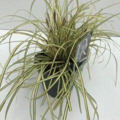 """Plantenwinkel.nl Zegge (Carex oshimensis """"Evergold"""") siergras - In 2 liter pot - 1 stuks"""
