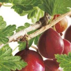 "Plantenwinkel.nl Rode kruisbes (ribes uva crispa ""Captivator"") fruitplanten - In 2 liter pot - 1 stuks"