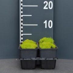 """Plantenwinkel.nl Vetmuur (sagina subulata """"Aurea"""") bodembedekker - 4-pack - 1 stuks"""