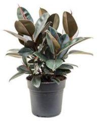 Plantenwinkel.nl Ficus elastica abidjan bush kamerplant