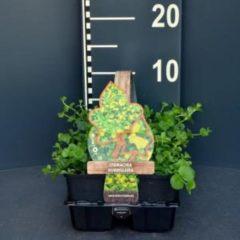 Plantenwinkel.nl Penningkruid (lysimachia nummularia) bodembedekker - 6-pack - 1 stuks