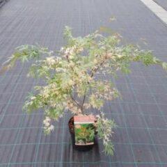 "Plantenwinkel.nl Japanse esdoorn (Acer palmatum ""Beni-Shichi-Henge"") heester - 3 stuks"