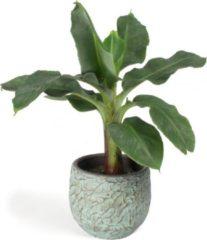 Plantenwinkel.nl All in 1 kamerplant Bananenplant Musa dwarf cavendish XS in antiq bronze bloempot