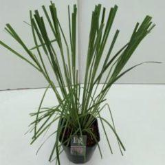"Plantenwinkel.nl Pampasgras (Cortaderia selloana ""Rosea"") siergras - In 5 liter pot - 1 stuks"