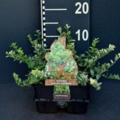 """Plantenwinkel.nl Kardinaalsmuts (euonymus fortunei """"Harlequin"""") bodembedekker - 6-pack - 1 stuks"""