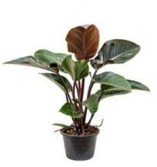Plantenwinkel.nl Philodendron red congo L kamerplant