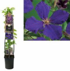 "Plantenwinkel.nl Paarse bosrank (Clematis ""Jackmanii"") klimplant - 120 cm - 1 stuks"