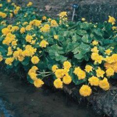 "Moerings waterplanten Dubbele dotterbloem (Caltha palustris ""multiplex"") moerasplant - 6 stuks"