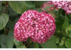 MyPalmShop.nl Hydrangea arborescens 'Invincibelle' (Pink Annabelle); Totale hoogte 35-45cm incl. Ø 19cm pot | Hortensia Roze Annabelle |