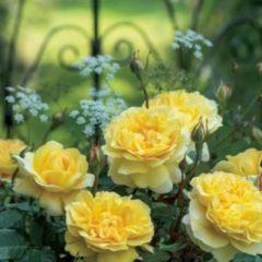 """Plantenwinkel.nl Engelse klimroos (rosa """"The Poet's Wife""""®)"""