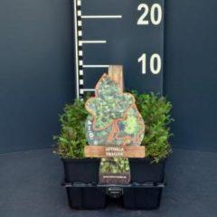Plantenwinkel.nl Koperknoopje (leptinella squalida) bodembedekker - 6-pack - 1 stuks