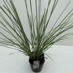"Plantenwinkel.nl Pampasgras (Cortaderia selloana ""Pumila"") siergras - In 5 liter pot - 1 stuks"