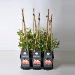 "Plantenwinkel.nl Klimroos (rosa ""Libretto"")"