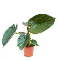 Plantenwinkel.nl Alocasia wentii S kamerplant