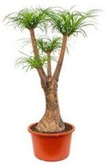 Plantenwinkel.nl Beaucarnea recurvata maril kamerplant