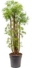 Plantenwinkel.nl Polyscias aralia ming XL kamerplant