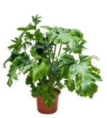 Plantenwinkel.nl Philodendron bipinifidatum