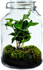 Growing Concepts Be Different Growing Concepts DIY Duurzaam Ecosysteem Weckpot 5L - Planten - Coffea Arabica - H28xØ18cm