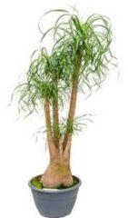 Plantenwinkel.nl Beaucarnea recurvata inekes kamerplant