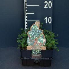 """Plantenwinkel.nl Dwergmispel (cotoneaster """"Queen of Carpet"""") bodembedekker - 6-pack - 1 stuks"""