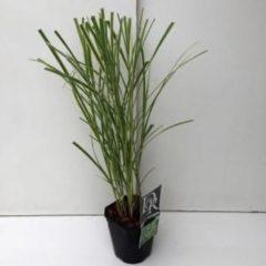 """Plantenwinkel.nl Prachtriet (Miscanthus sinensis """"Variegatus"""") siergras - 6 stuks"""