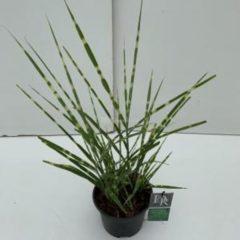 """Plantenwinkel.nl Prachtriet (Miscanthus sinensis """"Strictus"""") siergras - In 3 liter pot - 1 stuks"""