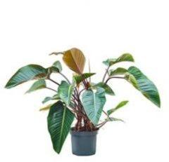 Plantenwinkel.nl Philodendron red beauty kamerplant