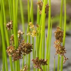 Moerings waterplanten Pitrus (Juncus effusus) moerasplant - 6 stuks