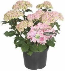 "Plantenwinkel.nl Hydrangea Macrophylla ""Double Flowers Pink""® boerenhortensia - 25-30 cm - 1 stuks"