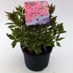 "Plantenwinkel.nl Rododendron (Rhododendron Japonica ""Silver Sword"") heester - 15-20 cm - 8 stuks"
