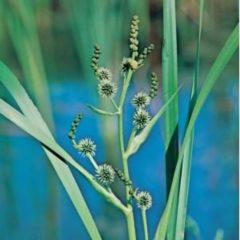 Moerings waterplanten Grote egelskop (Sparganium erectum) moerasplant - 6 stuks