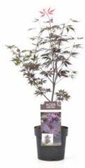 "Plantenwinkel.nl Japanse esdoorn (Acer palmatum ""Black Lace"") heester - 3 stuks"