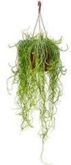 Plantenwinkel.nl Euphorbia cactus flanaganii hangplant