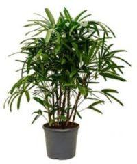 Plantenwinkel.nl Rhapis excelsa L bamboepalm kamerplant