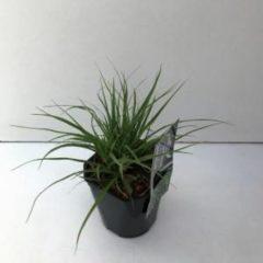 Plantenwinkel.nl Veldbies (Luzula nivea) siergras - 6 stuks