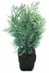 """Plantenwinkel.nl Schijncipres (Chamaecyparis lawsoniana """"Van Pelt's Blue"""") conifeer - 6 stuks"""