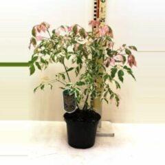 """Plantenwinkel.nl Vederesdoorn (Acer Negundo """"Flamingo"""") - 30-40 cm - 10 stuks"""