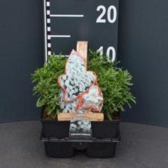 """Plantenwinkel.nl Scheefkelk (iberis sempervirens """"Snowflake"""") bodembedekker - 4-pack - 1 stuks"""