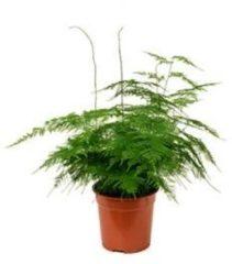 Plantenwinkel.nl Asparagus plumoses S kamerplant
