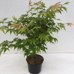 "Plantenwinkel.nl Japanse esdoorn (Acer palmatum ""Osakasuki"") heester - 40-50 cm - 1 stuks"