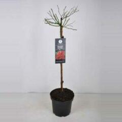 Plantenwinkel.nl Rozen op stam Fairy King Donkerrood