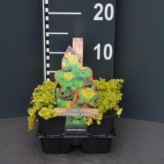 """Plantenwinkel.nl Penningkruid (lysimachia nummularia """"Aurea"""") bodembedekker - 4-pack - 1 stuks"""