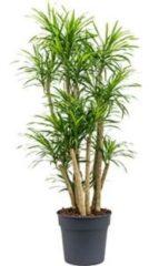 Plantenwinkel.nl Dracaena Pleomele anita variegata M kamerplant