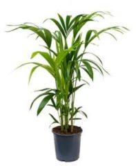 Plantenwinkel.nl Kentia Palm howea forsteriana 5pp M kamerplant